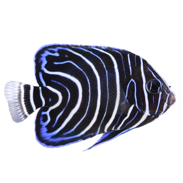 Koran Angelfish (Pomacanthus semicirculatus) - Large - Carousel image #1