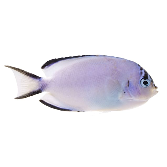 Female Watanabei Angelfish (Genicanthus watanabei) - Carousel image #1