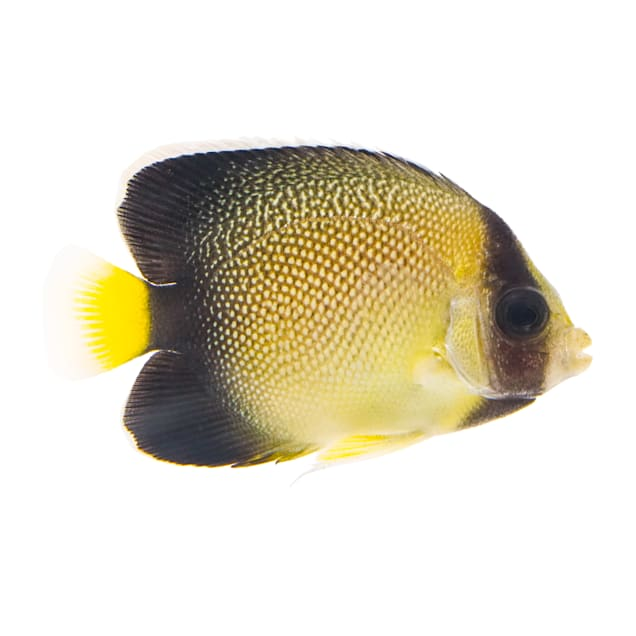 Yellowtail Cream Angelfish (Apolemichthys xanthurus) - Medium - Carousel image #1