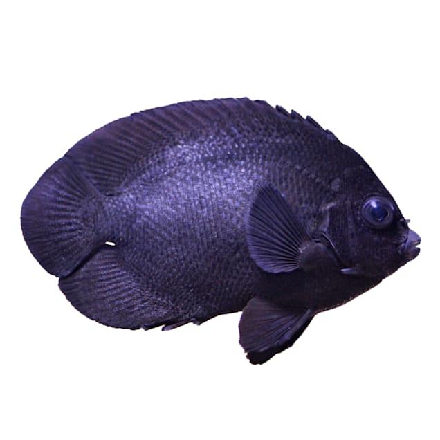 Black Nox Angelfish (Centropyge nox) - Carousel image #1