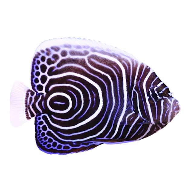 Emperor Angelfish (Pomacanthus imperator) - Medium - Carousel image #1