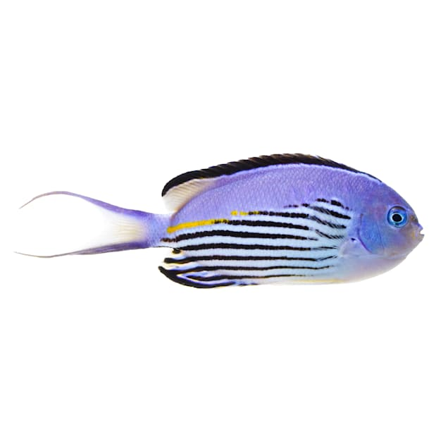Male Watanabei Angelfish (Genicanthus watanabei) - Carousel image #1