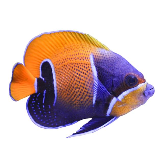 Adult Majestic Blue Girdled Angelfish (Pomacanthus navarchus) - Small - Carousel image #1