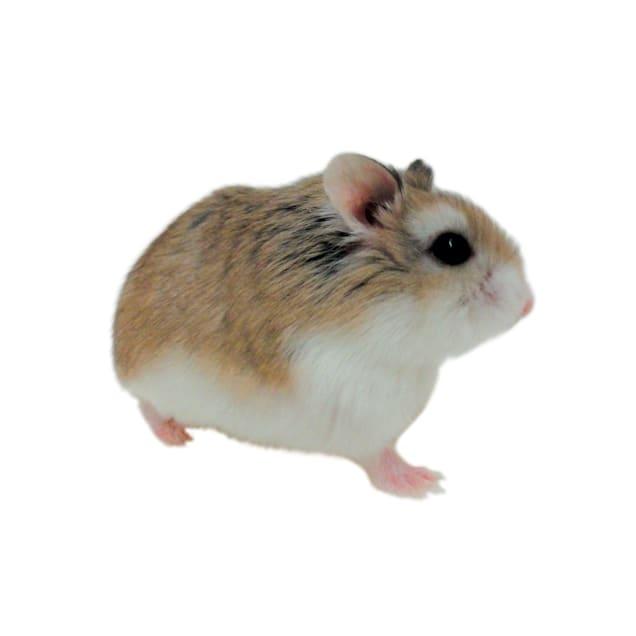 Roborovski Hamster (Phodopus roborovskii) - Carousel image #1