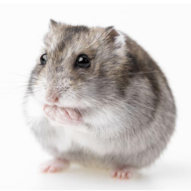 Djungarian Hamster (Phodopus sungorus) - Carousel image #1