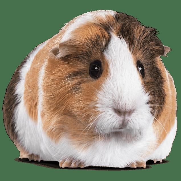 Guinea Pig (Cavia porcellus) - Carousel image #1