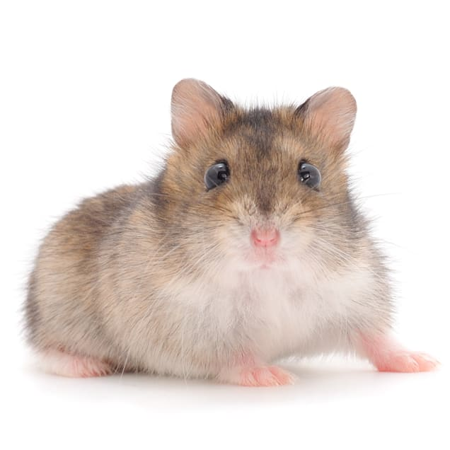 Dwarf Hamster (Phodopus campbelli) - Carousel image #1