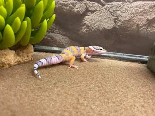 Side shot of leopard gecko in terrarium