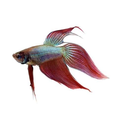 Male Veiltail Betta