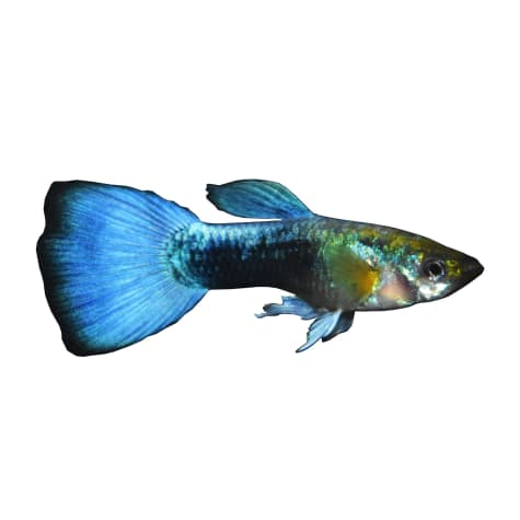 Male Blue Neon Guppy