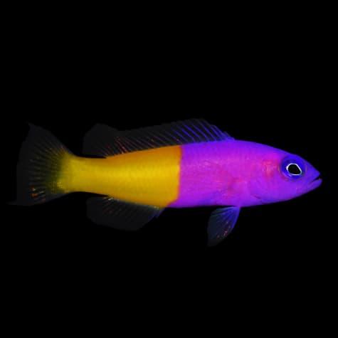 Bicolor Dottyback