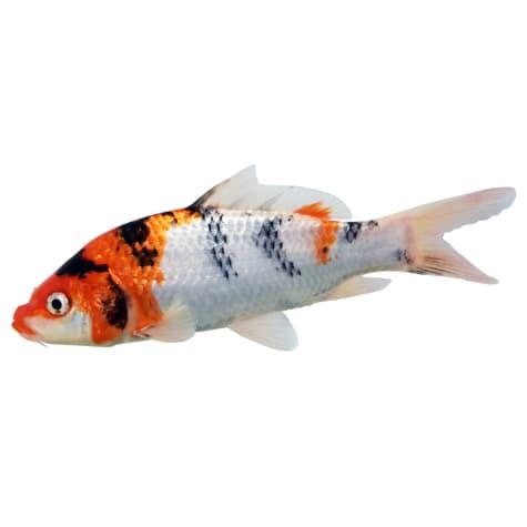 Koi Grade A Fish For Sale Order Online Petco