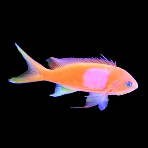 Male Squareback Anthias
