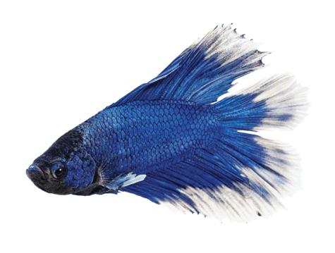 Male Doubletail Betta