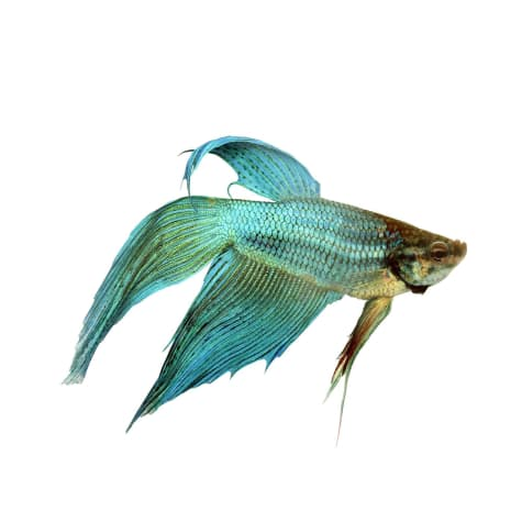 Green Male Veiltail Betta