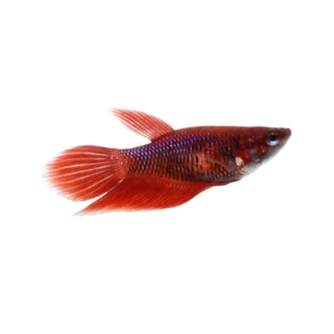 Red Female Veiltail Betta