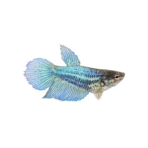 Blue Female Veiltail Betta