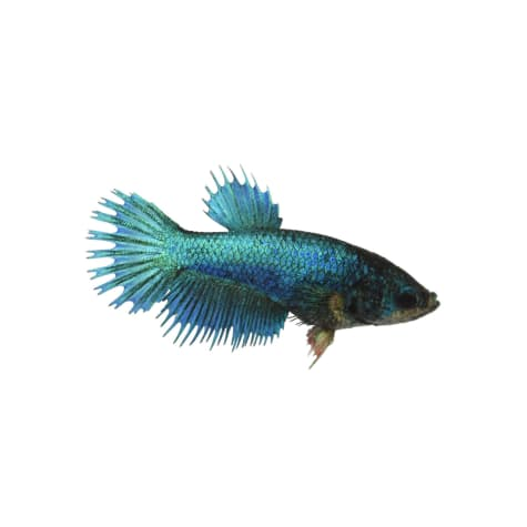 Blue Female Crowntail Betta