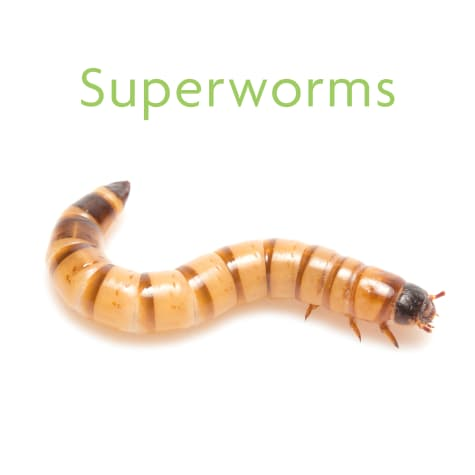 Vita-Bugs Superworms