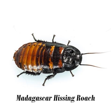 Giant Islander Roach