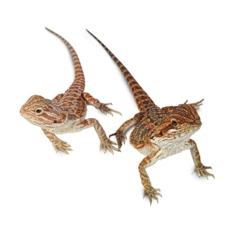 Bearded Dragons For Sale Buy Live Bearded Dragons For Sale Petco