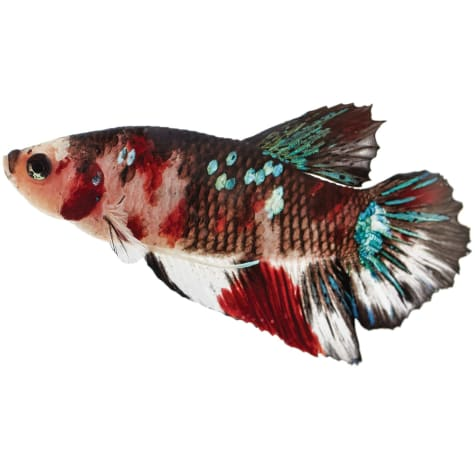 Male Koi Betta