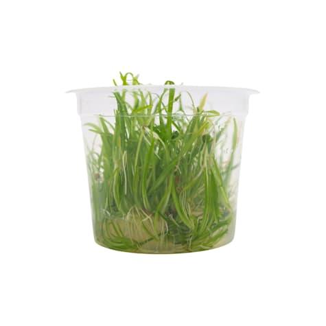 Echinodorus tenellus - Tissue Culture Aquarium Plant