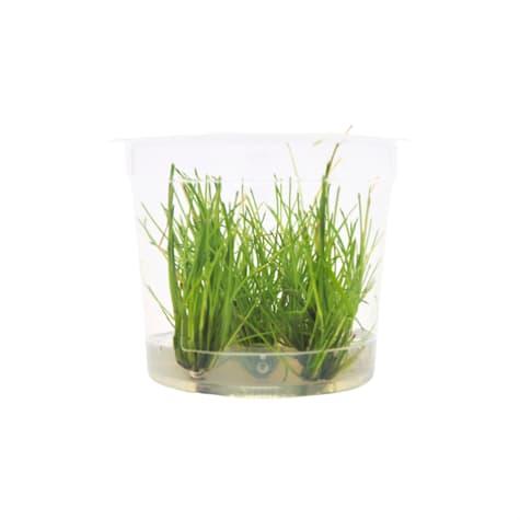 Eleocharis parvula - Tissue Culture Aquarium Plant