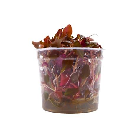 Alternanthera reineckii - Tissue Culture Aquarium Plant
