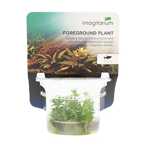Ammania sp. - Bonsai - Tissue Culture Aquarium Plant