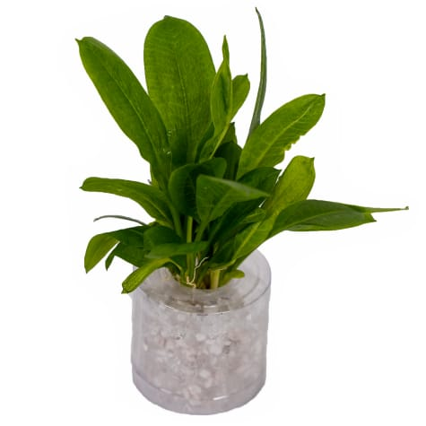 Rosette Sword (Echinodorus parviflorus)  - Aquarium Tube Plant