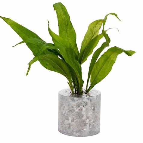 Tropica Fern (Microsorium pteropus) - Aquarium Tube Plant