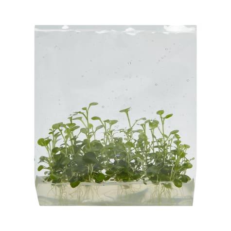Lobelia cardinalis - Tissue Culture Aquarium Plant