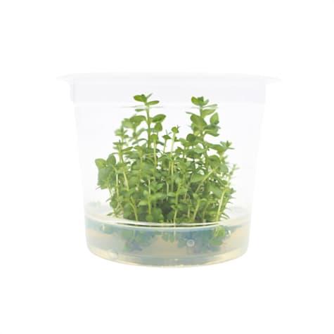 Lysimachia nummularia - Tissue Culture Aquarium Plant