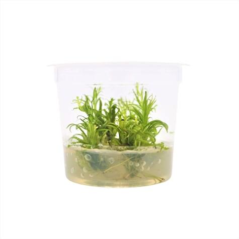 Pogostemon erectus - Tissue Culture Aquarium Plant