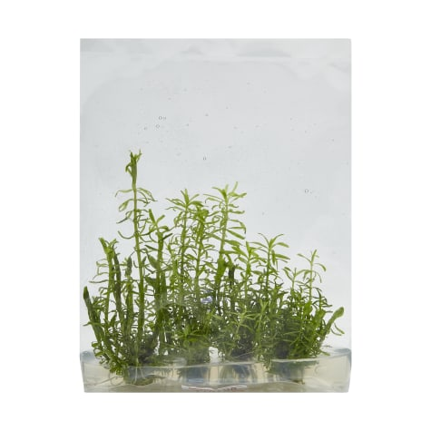 Rotala wallichii - Tissue Culture Aquarium Plant