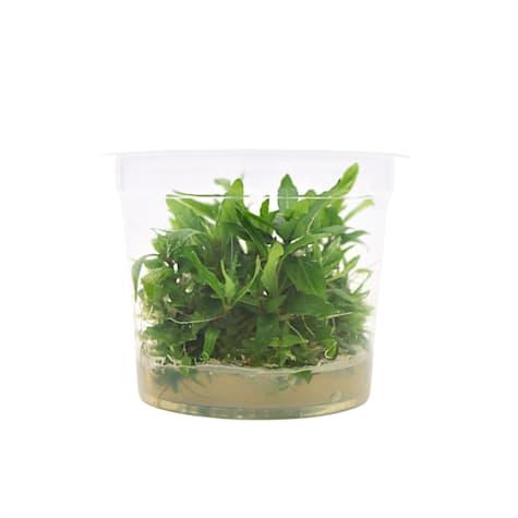 Staurogyne repens - Tissue Culture Aquarium Plant