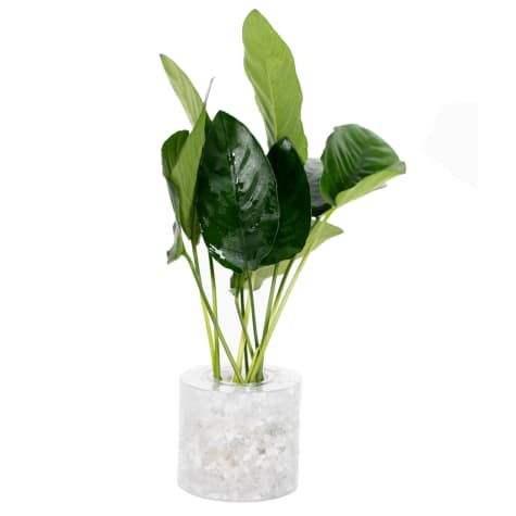 Anubias nana - Aquarium Tube Plant