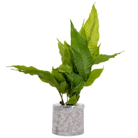 El Nino Fern (Bolbitis heteroclita) - Aquarium Tube Plant