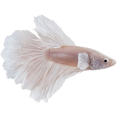 Male White Opal Betta