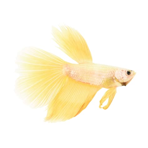 Male Rose Gold Betta