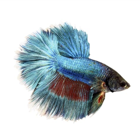 Male Rose Petal Betta