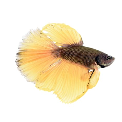 Male Bumblebee Betta