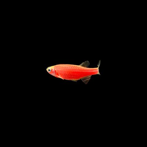 GloFish Starfire Red Danio