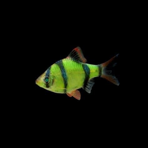 GloFish Electric Green Barb