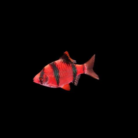 GloFish Starfire Red Barb
