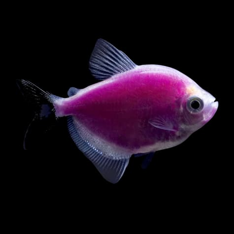GloFish Galactic Purple Tetra