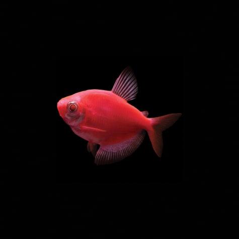 GloFish Starfire Red Tetra