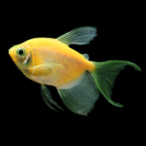 GloFish Sunburst Orange Longfin Tetra