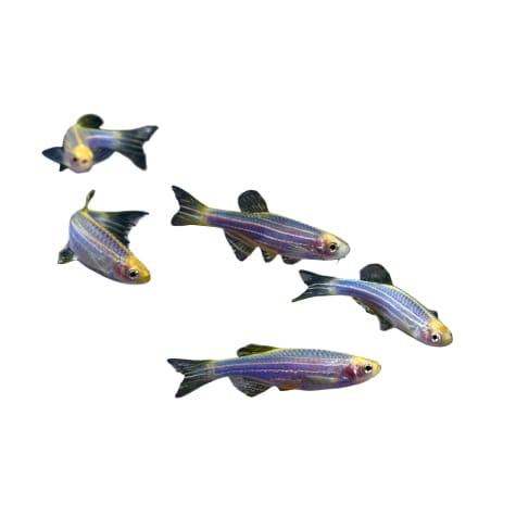 GloFish- 5-Pack Cosmic Blue Danio
